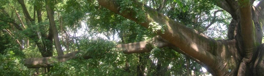 Bombax Tree, Bangalore