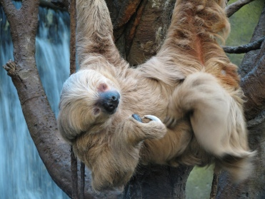 http://library.sandiegozoo.org/factsheets/sloth/sloth.htm